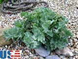 USA SELLER Sea Kale seeds HEIRLOOM NON GMO