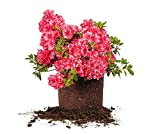 RED Ruffles Azalea - Size: 1 Gallon, Live Plant, Includes Special Blend Fertilizer & Planting Guide