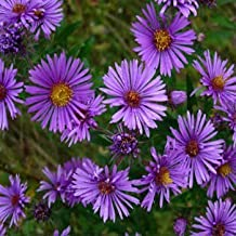 Outsidepride Aster New England - 1000 Seeds