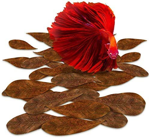 SunGrow Indian Almond Leaves, 2-Inches, Best Way to Create Tropical Rainforest Environment for Betta & Gouramis, Beneficial Leaf Conditions Water, 50 Leaves per Pack