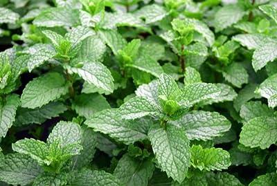 100+ ORGANICALLY GROWN Mojito Cuban Mint Seeds Heirloom NON-GMO
