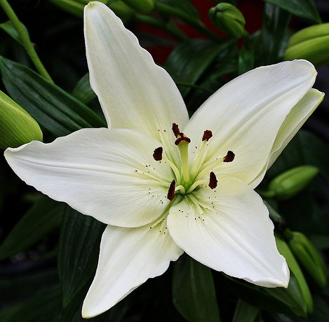 (2) Gorgeous White New Wave Asiatic Lily Bulb Flowering Perennial Year After Year