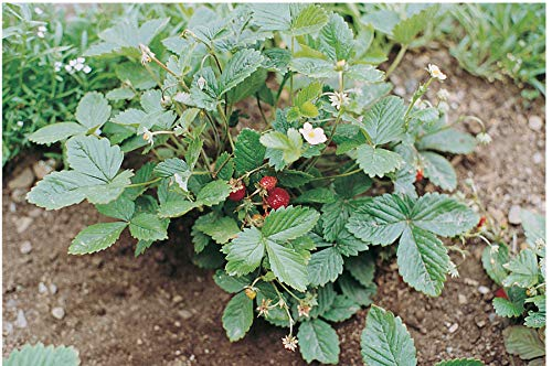 David's Garden Seeds Fruit Strawberry Alexandria SL6977 (Red) 200 Non-GMO, Heirloom Seeds (Wild Strawberries Seeds)