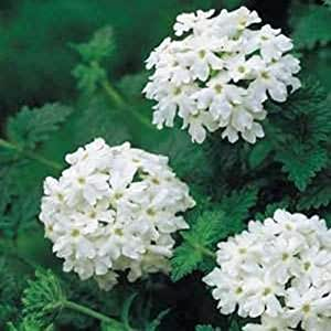 Verbena- White- 50 Seeds -