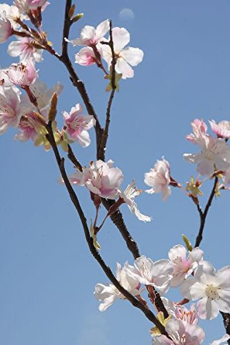 Richland Cherry Blossom Branches Tall Silk Pink 42'' Set of 6