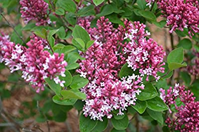 Miss Kim Tinkerbelle Lilac Tree Certified 10 Seeds #302 Item UPC#636134972496