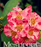 New Euphorbia Milii Hybrid Mix Middle 100+ seeds - 12