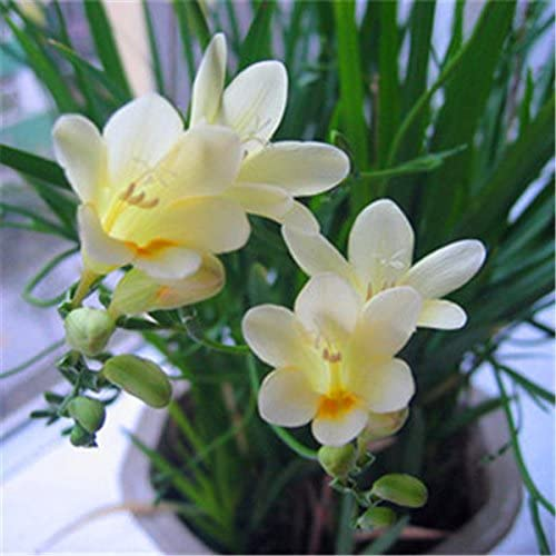 100 Mix Semillas semillas fresias, los flores de corte precioso jardín de DIY colorido y fragante flor de la planta, jardín, decoración de balcón: Amazon.es: Jardín
