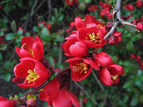 10 Seeds Chaenomeles japonica Japanese Quince Fruit (Quince Fruit)