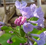 5 Small Virginia Bluebells bare roots Native Plants Bare root stock