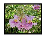 Desert Willow Seeds Tree/Bush with Orchid Like Flowers Chilopsis Linearis 75 Seeds