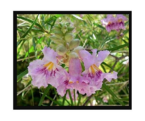 (Desert Willow, Chilopsis linearis, Tree Seeds (Fast, Showy, Fragrant) 200 seeds)