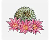 10x8 Print of Illustration of Rebutia krainziana, a globular cactus with pink flowers (13543587)