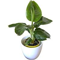 Planta de interior - Planta para la casa o la oficina - Musa Tropicana enana - Platanera - 30 cm de alto