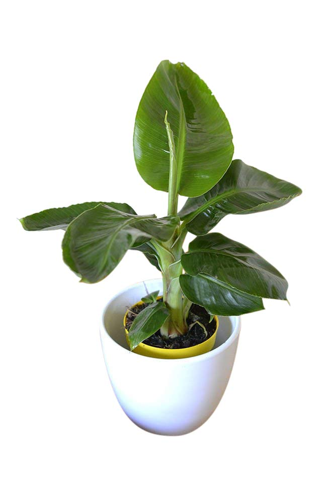 Indoor Plant -House or Office Plant -Musa dwarf Tropicana- Banana Tree 30 cms Olive Grove