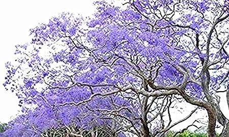 Amazon Com Golden Autumn Farm 25 Blue Jacaranda Tree Jacaranda Mimosifolia Seeds Excellent As Bonsai Garden Outdoor