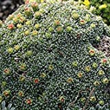 SAXIFRAGA COCHLEARIS Seeds,Winter Hardy Succulent ,USDA Zone 5. (300 Seeds)