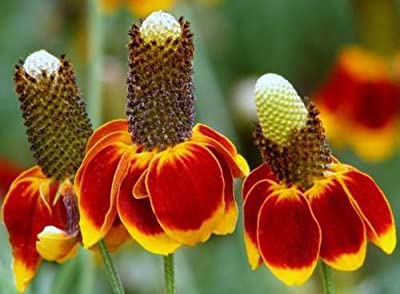 Flower Seeds - 100 Seeds of Mexican Hat Seeds Heirloom Daisy Seeds Non Gmo Perennial Wildflower Seed
