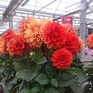 Dalia hortensis - 15 unidades - Maceta de 10,5cm - Naranja