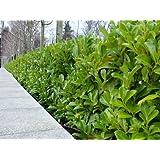 5 Cherry Laurel Evergreen Hedge Plants 25-30cm in Pots 3fatpigs®