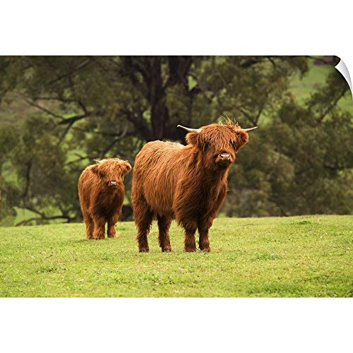 - CANVAS ON DEMAND Wall Peel Wall Art Print Entitled Highland Beef Cattle grazing at Mirboo North in The Strzelecki Ranges, Australia 18