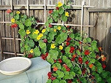 Potseed Semillas de Flor: Semillas de Flores para la capuchinas Mejor Semillas Ollas Hogar Jardín Balcón jardín de Flores de jardín Herge Plan [Home Garden Semillas Eco Pack]: Amazon.es: Jardín