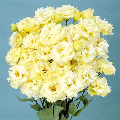 国華園 種 花たね トルコキキョウ F1ハピネスイエロー 1袋(25粒)/メール便配送