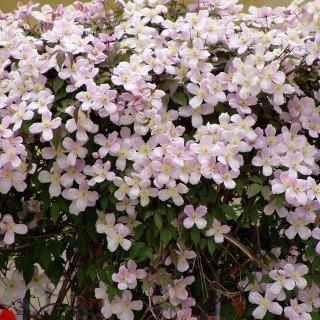 clematis pianta rampicante