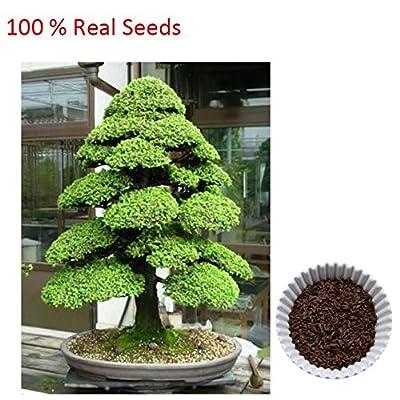 Loss Promotion! 100% True Sacred Japanese Cedar Professional Pack 20 Pcs Semillas Bonsai Seeds : Garden & Outdoor