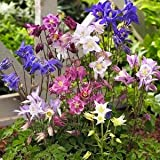 Aquliegia Biedermier Columbine, 1 Gallon