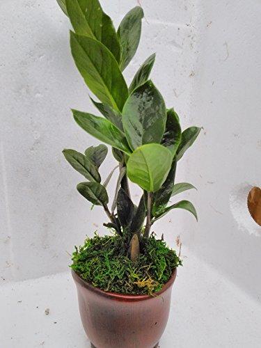 jmbamboo- Wooden Color Ceramic Pot w/ RARE Z Z Houseplant GOLDEN TREE ZAMIOCULCAS