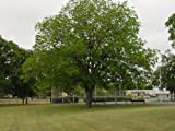 2 Pecan Trees Live Trees 2-3 feet tall!