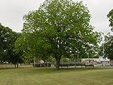 2 Pecan Trees Grow your Own Pecans