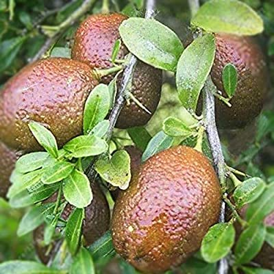 angel3292 Psidium Guajava Seeds, 10/20/50Pcs Red Psidium Guajava Seeds Sweet Fruit Garden Bonsai Farm Yard Plant Psidium Guajava Seeds 20pcs : Garden & Outdoor