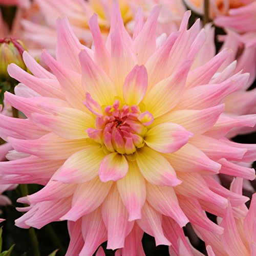 Pink and Yellow Dwarf Dahlia Gallery Melody Gypsy - Miniature Dahlia 3 Large Tubers Bloom This Summer - Perfect for Containers   Ships from Easy to Grow TM