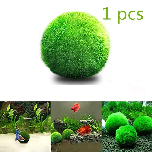 kangle 1 pcs Marimo Moss Balls - Easy Maintenance -Eco-Friendly, Cleans Aquarium Water - Create Healthy Surroundings - Low Maintenance Live Plant for Aquatic Pets