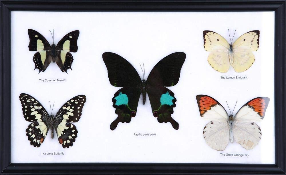 Five Real Framed Butterflies (Assorted Species) | Every Display Frame is Unique! | Real Butterfly Taxidermy Wall Decor | 13 x 9 inches