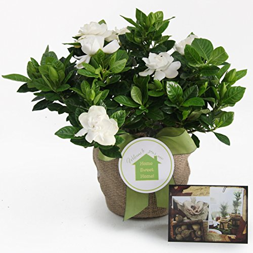 Sympathy Medium Gardenia Gift Tree - Sweet Fragrance with Beautiful Blooms By The Magnolia Company