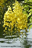 Cassia Fistula Almatas Golden Shower Kanikonna Tree 50 Seeds