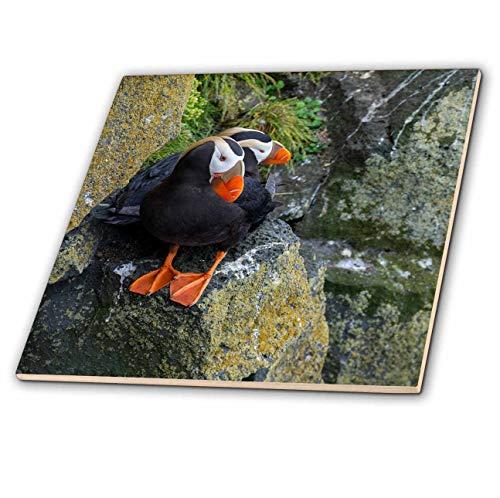 3dRose Danita Delimont - Puffins - Alaska, Pribilof Islands, Saint Paul. Tufted puffin aka crested puffin - 8 Inch Glass Tile ()