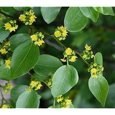 Cheap Fresh Thorn Seeds Paliurus Spina Christi Christ's Get 5 Seeds Easy Grow #GRG01YN : Garden & Outdoor