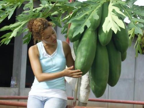 GIANT Carica Papaya, melon tree, self pollination, 11 seeds