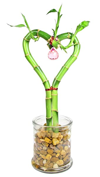 Amazon Heart Lucky Bamboo In Round Clear Glass Vase Live
