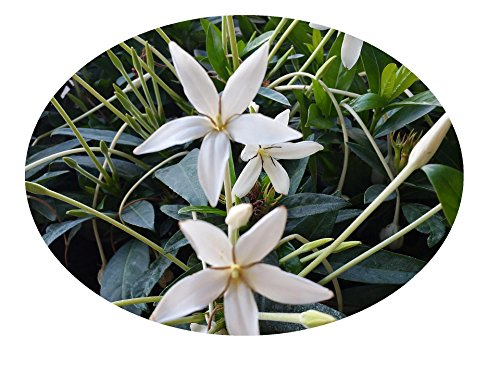 (ALIBERTIA BELIZE White Shooting Star Live Plant Fragrant Flowers Attract Butterflies Starter Size 4 Inch Pot Emerald Goddess Gardens TM)
