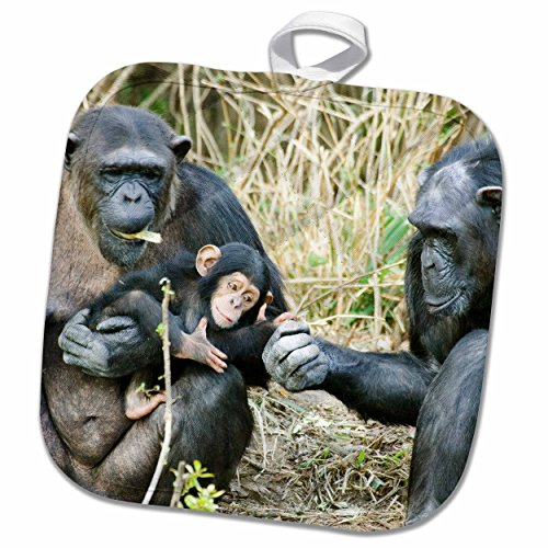 3dRose Danita Delimont - Chimpanzees - Kenya, Chimpanzees at Sweetwaters Tented Camp-AF21 BJA0089 - Janyes Gallery - 8x8 Potholder (phl_71063_1)