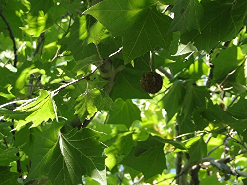 American Sycamore Tree Shade Live Established Rooted 1 Plant in 1 Gallon Pot ()