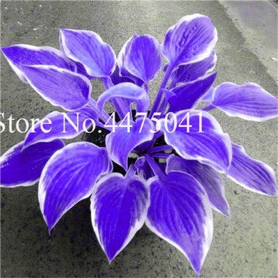 (200 pcs/lot Rainbow hosta Seeds, perennials Plantain Beautiful Lily Flower White lace Home Garden Ground Cover Climbing plants0 )