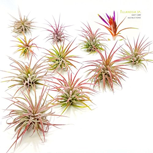 The Drunken Gnome AIR PLANTS – IONANTHA FUEGO – 10 PACK - air purifying flowering tillandsia for terrarium, fairy garden starter kit, home office, indoor outdoor, corporate gift (10 FUEGO)