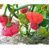 Virtue 10 Rocotillo Pepper Seeds, (Capsicum chinense) A