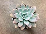 LARGE Healthy Succulent Pink Purple Green Pastel Graptoveria Opalina Succulent Plant Echeveria Pink Hybrid Pink Edge Wedding Rare Plant Gift